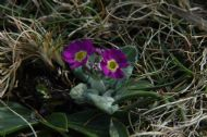 SCOTTISH PRIMROSE